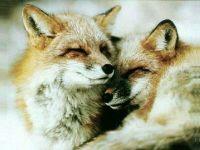 Две лисы