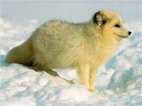 Песец, полярная лисица