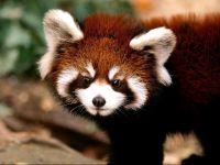 Красная панда, или малая панда