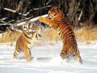 Дерущиеся на снегу тигры