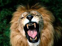 Зевающий лев