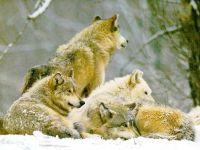 Волки, припорошенные снегом фото