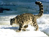 Снежный леопард, или ирбис