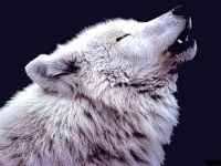 Воющий полярный волк