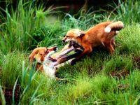 Играющие лисы