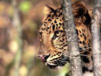 Леопард, фото обои фотография