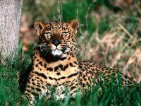 Дальневосточный леопард (Panthera pardus orientalis)