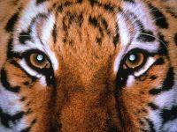 Глаза тигра