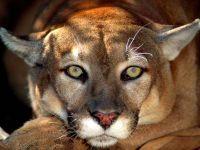 Горный лев, или пума обои