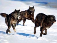 Черные волки (Canis lupus pambasileus) фото