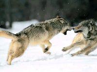 Ссорящиеся волки