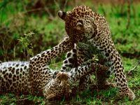 Играющие леопарды
