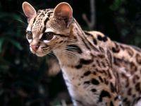 Маргай (Leopardus wiedii) фото
