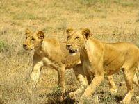 Молодые львицы