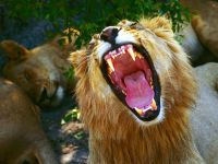 Зевающий лев обои