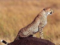 Гепард выслеживающий добычу