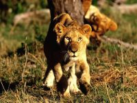 Подкрадывающаяся львица