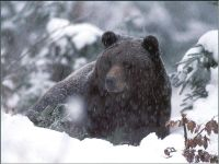 Бурый медведь зимой