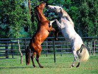 Лошади, стоящие на дыбах