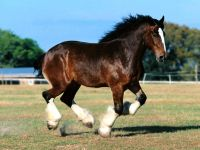 Тяжеловоз лошадь