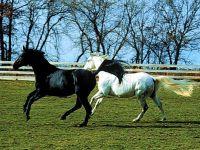 Белая и черная лошади
