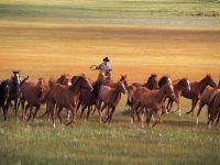 Табун лошадей и ковбой
