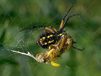 Паук в паутине убивает кузнечика