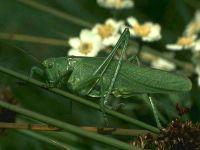 Кузнечик зелёный (Tettigonia viridissima)