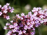 Пчела собирает пыльцу фото