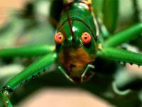 Гигантский зеленый кузнечик (Neobarrettia spinosa)
