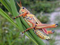 Гигантский флоридский кузнечик (Romalea guttata)