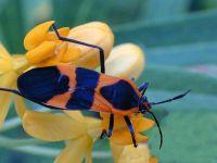 Клоп (Oncopeltus fasciatus) фото