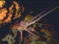 Лангуст Spiny lobster
