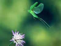 Летящий зеленый кузнечик