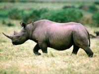 Черный носорог (Rhinoceros bicornis)