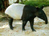 Чепрачный тапир (Tapirus indicus),  фото обои фотография