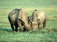 Носороги ,