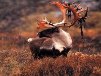Северный олень, карибу фото