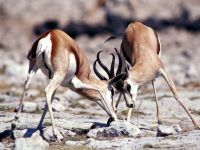 Газель Томсона (Gazella thomsoni) фото