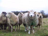 Овцы фото,