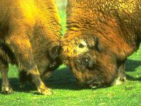 Бодающиеся бизоны