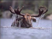 Плывующий лось