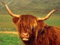 Шотландский горный бык, фото обои фотография