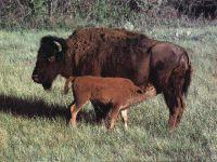 Бизониха с теленком