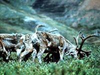 Северные олени, или карибу