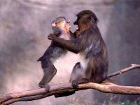 Играющие обезьяны