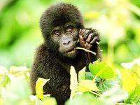 Детеныш восточной гориллы
