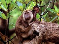 Макака-крабоед (Macaca fascicularis) фото
