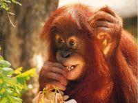 Детеныш орангутана