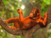 Молодой орангутанг,